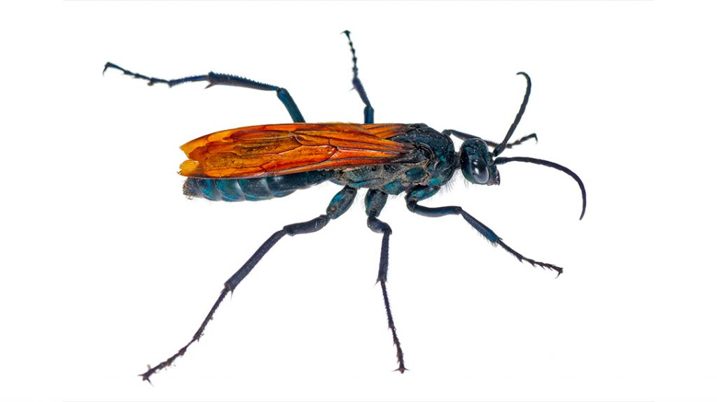 Stinging insects, Tarantula Hawk