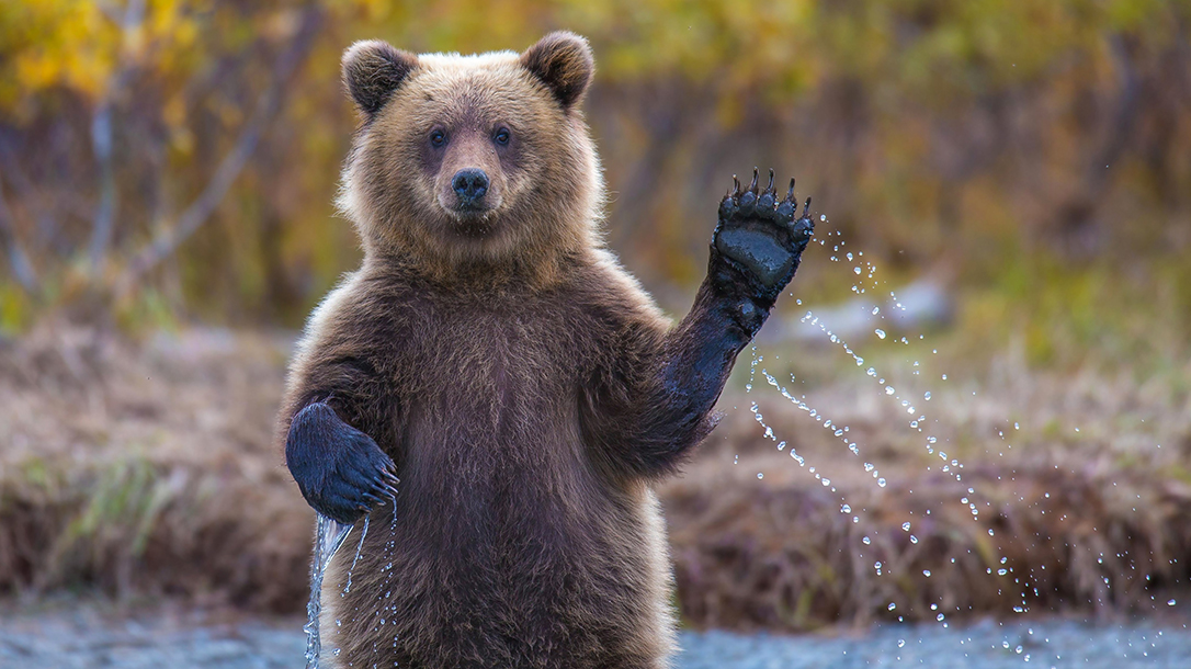 Bear waving, wanting to be friends.